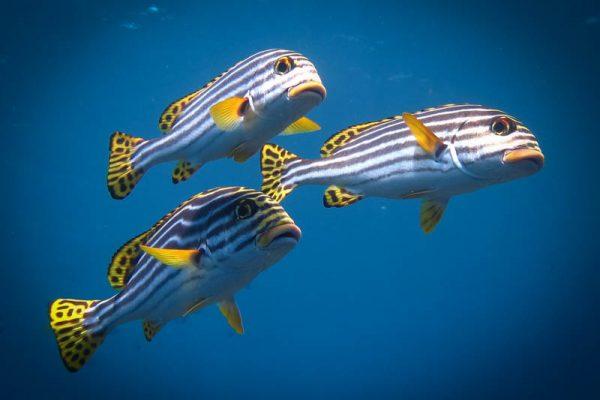 A classic fish of the tropics