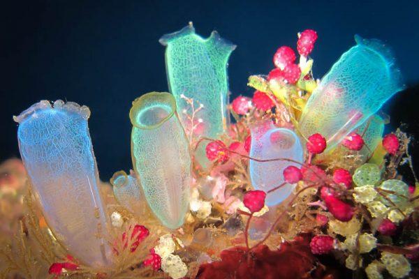 Multi colored sea squirts