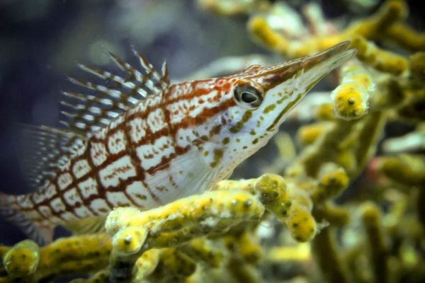 the shyest of the hawkfish