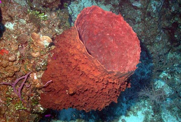 Picture of a barrel sponge