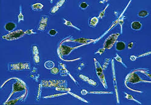 Close up of phytoplankton