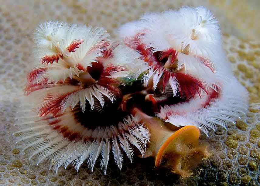 Red and White Christmas Tree Worm