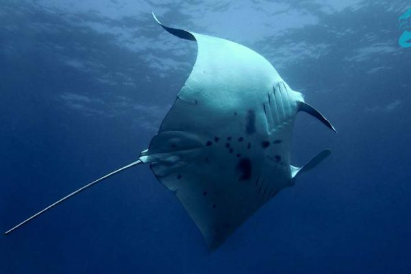 Manta turning in the water
