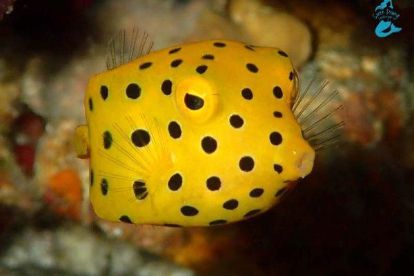 Close up yellow boxfish