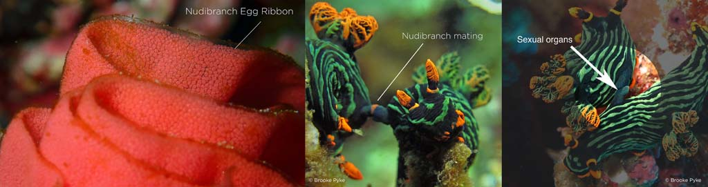 nudibranch eggs and reproductive organs