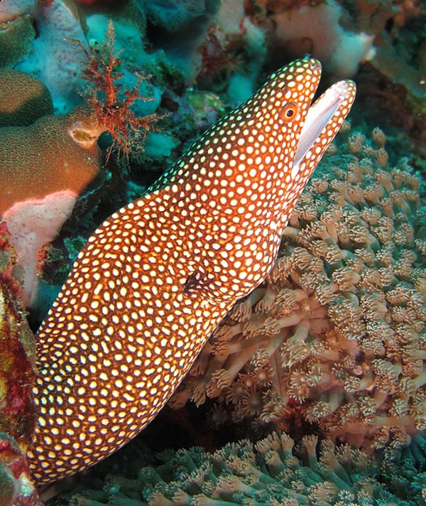 Spotted moral eel