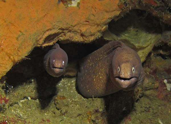 pair of moray eels in a crevice