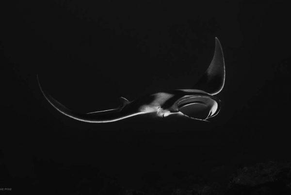 black and white manta photo