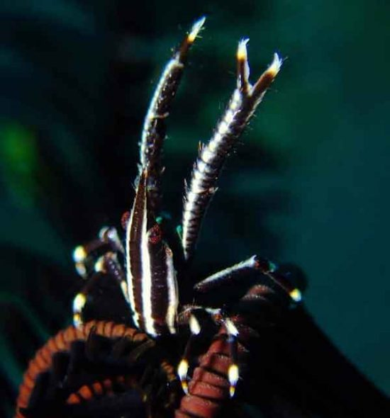 Stripy squat lobster
