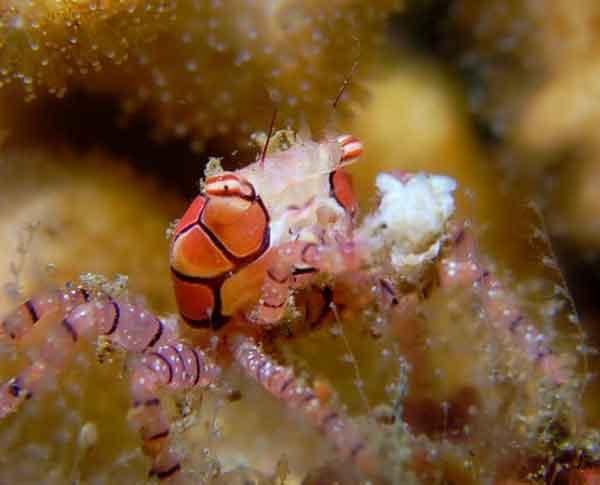 """Armed"" Pom-pom crab"