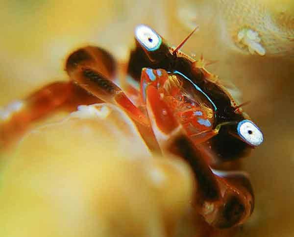 Crab in corpora coral